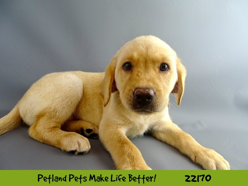 Labrador Retriever-Female-Yellow-2368632-Petland Naperville