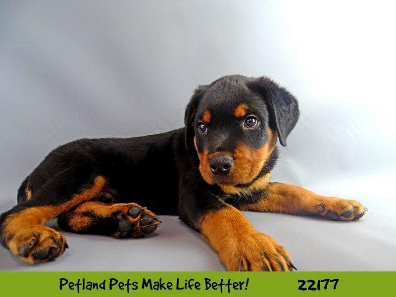 Rottweiler-Female-Black / Mahogany-2368481-Petland Naperville