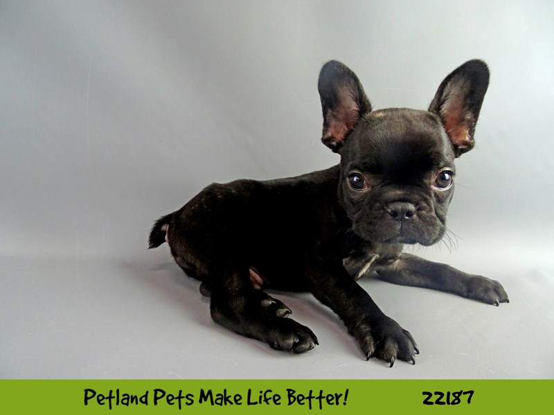 French Bulldog-Male-Black-2369606-Petland Naperville