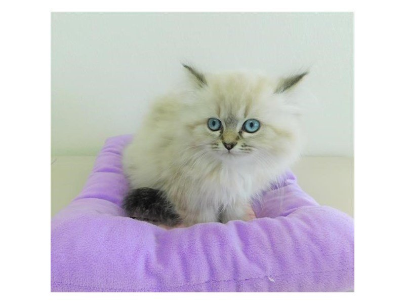 Persian-CAT-Female-Seal Points-2373600-Petland Naperville