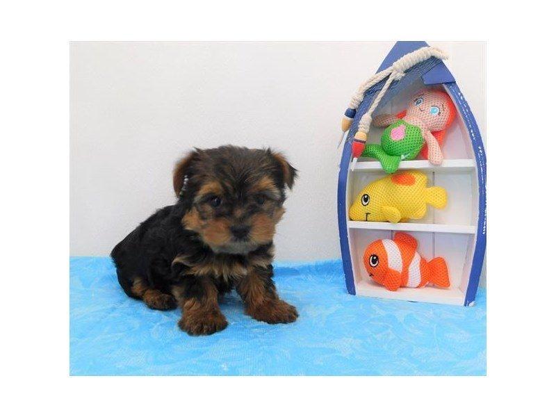 Yorkshire Terrier-Male-Black / Tan-2373605-Petland Naperville