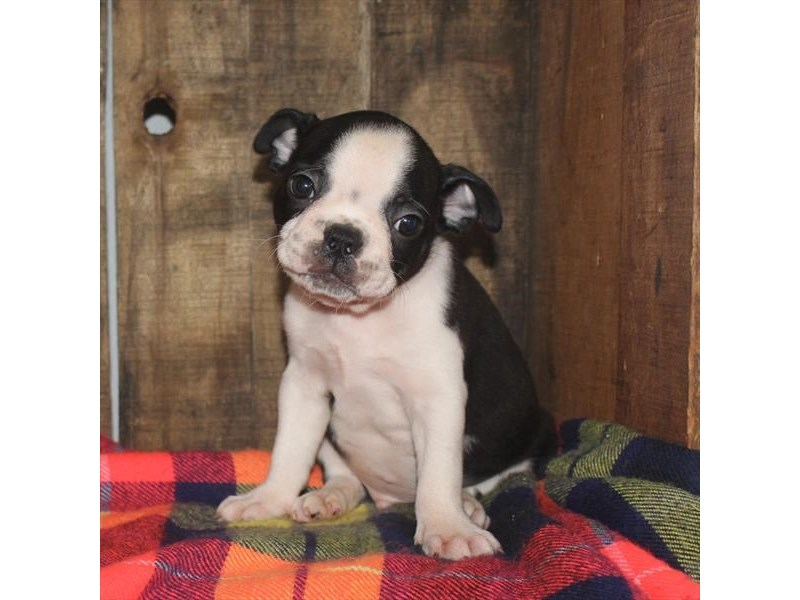 Boston Terrier-Male-Black / White-2373607-Petland Naperville