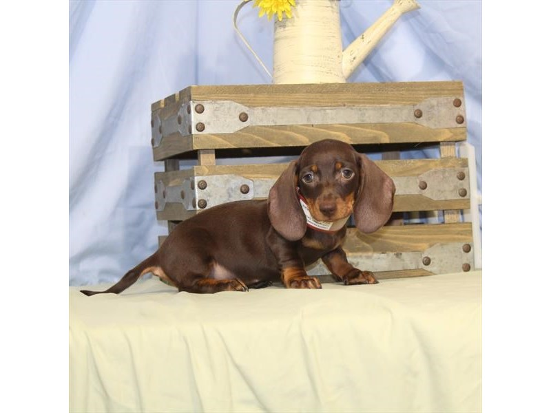 Dachshund-Male-Chocolate / Tan-2373611-Petland Naperville