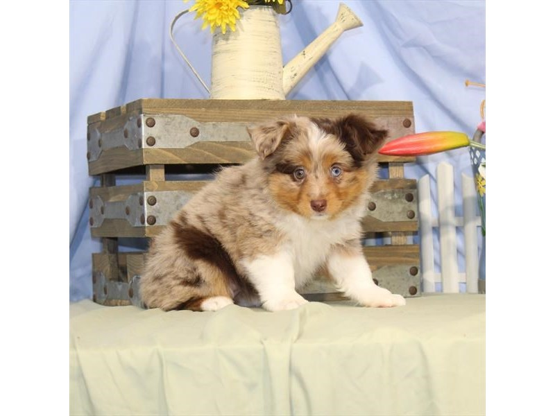 Australian Shepherd-DOG-Female-Red Merle-2373614-Petland Naperville