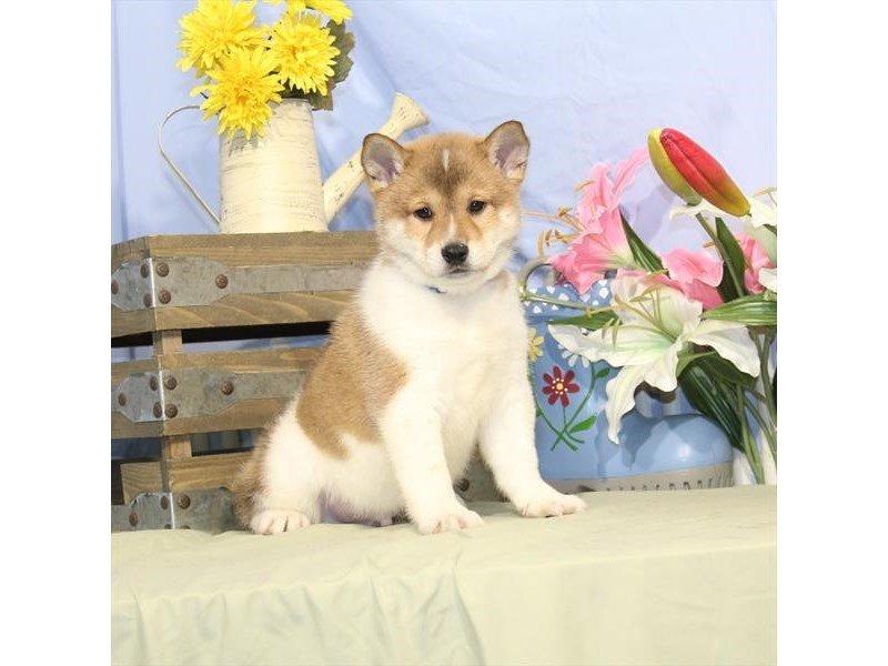 Shiba Inu-DOG-Male-Red Sesame-2373722-Petland Naperville