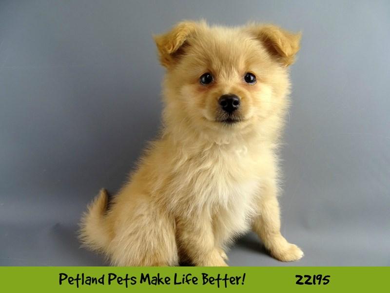 Pomeranian-DOG-Female-Cream-2374679-Petland Naperville