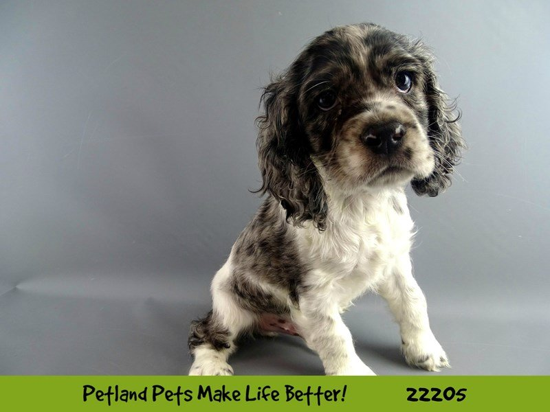 Cocker Spaniel-DOG-Male-Blk/Blue/Wht-2375139-Petland Naperville