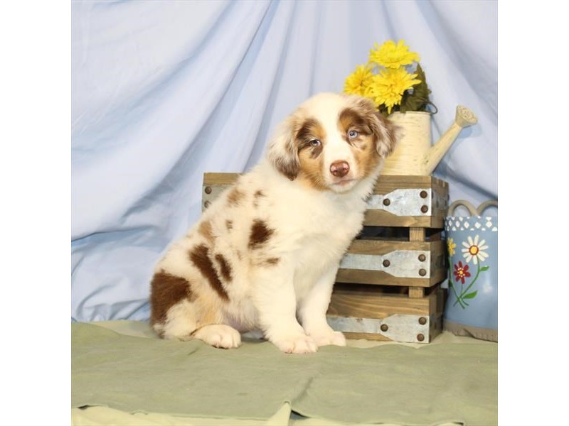 Australian Shepherd-DOG-Female-Red Merle-2379304-Petland Naperville