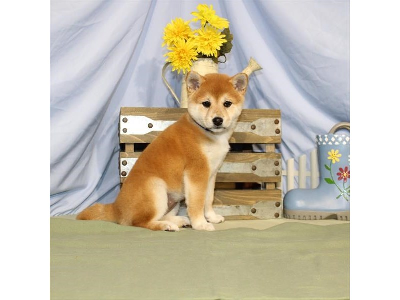 Shiba Inu-DOG-Female-Red Sesame-2379307-Petland Naperville