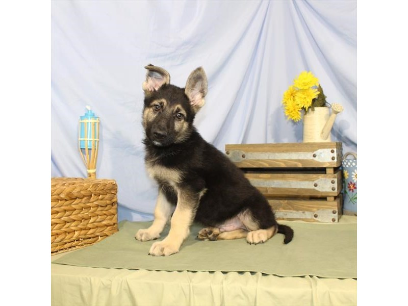 German Shepherd Dog-DOG-Male-Black / Tan-2379308-Petland Naperville