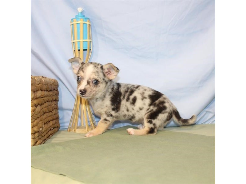 Chihuahua-DOG-Male-Blue Merle / Tan-2379309-Petland Naperville