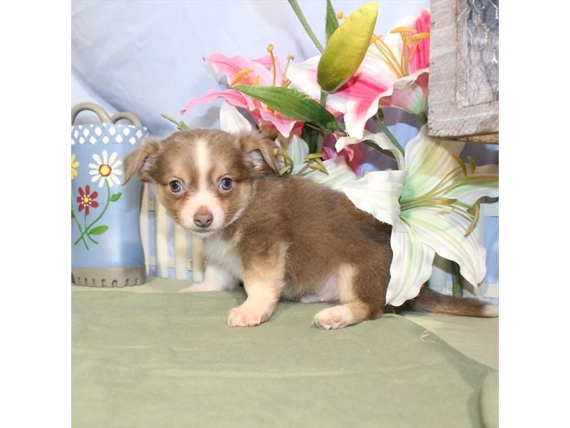 Chihuahua-DOG-Male-Blue Fawn / White-2379310-Petland Naperville