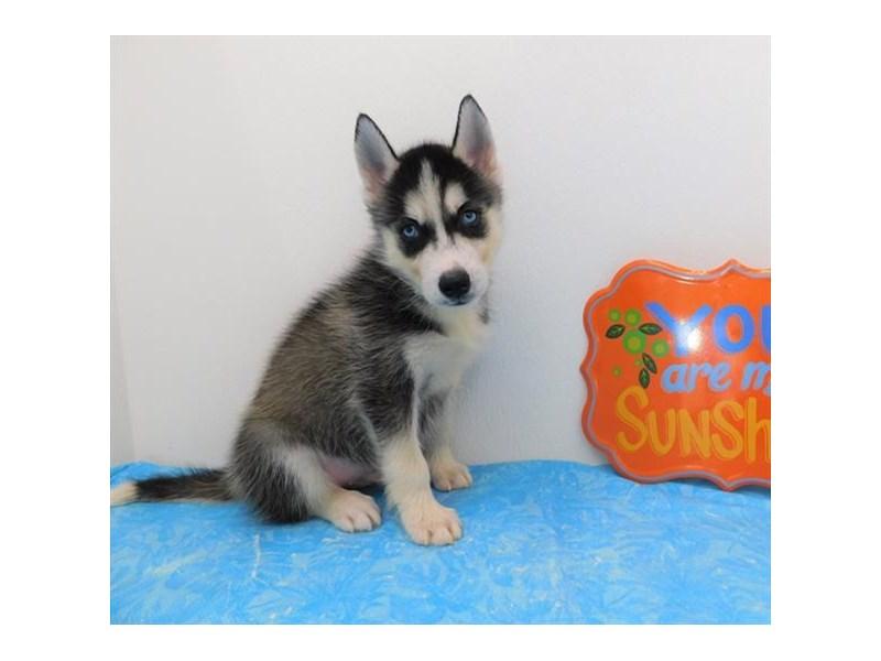 Siberian Husky-DOG-Male-Black / White-2379311-Petland Naperville