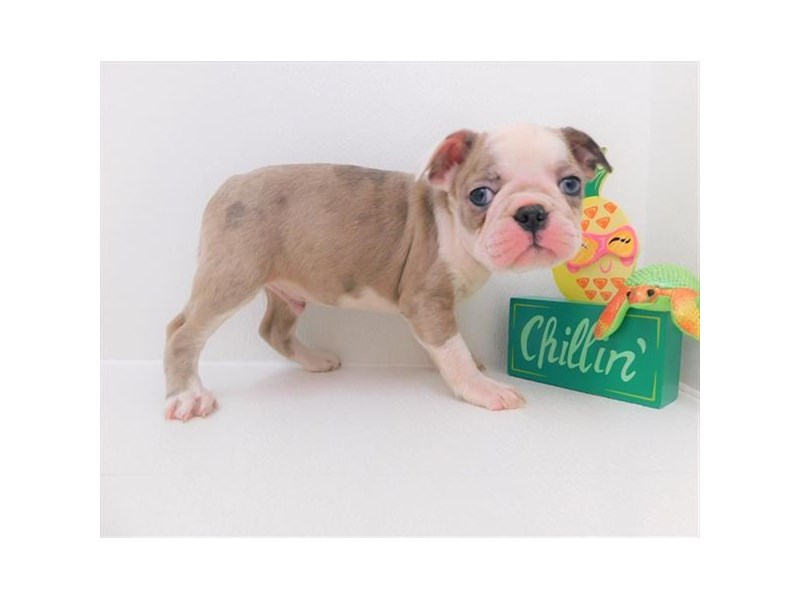 Boston Terrier-Male-Lilac-2379323-Petland Naperville
