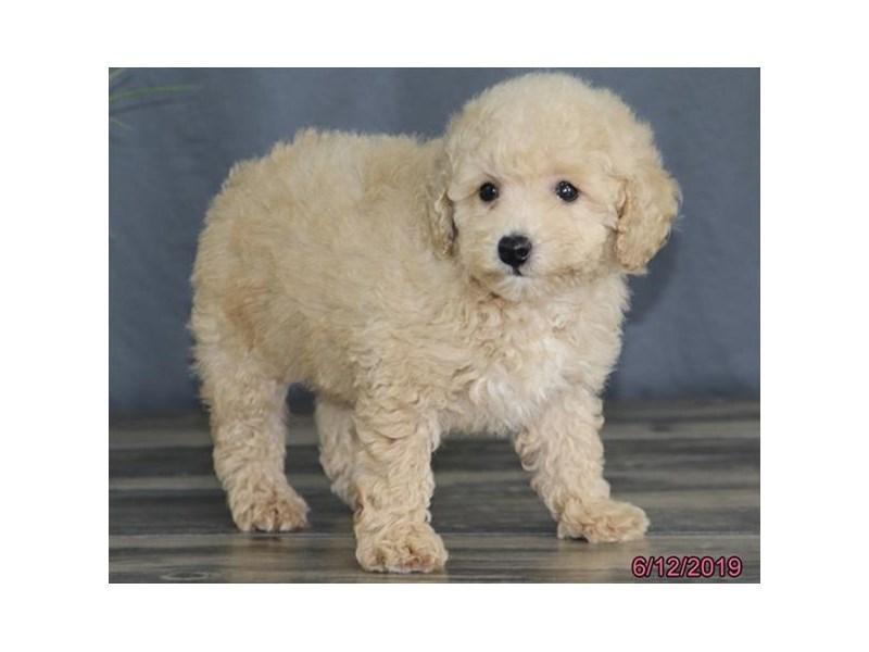 Poodle-Female-Cream-2379330-Petland Naperville