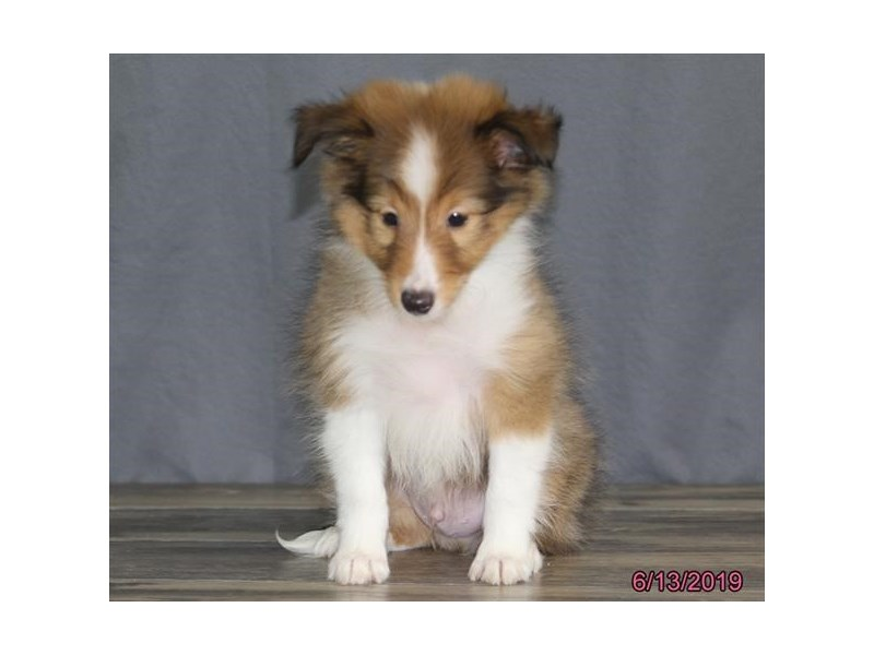 Shetland Sheepdog-Male-Sable / White-2379332-Petland Naperville