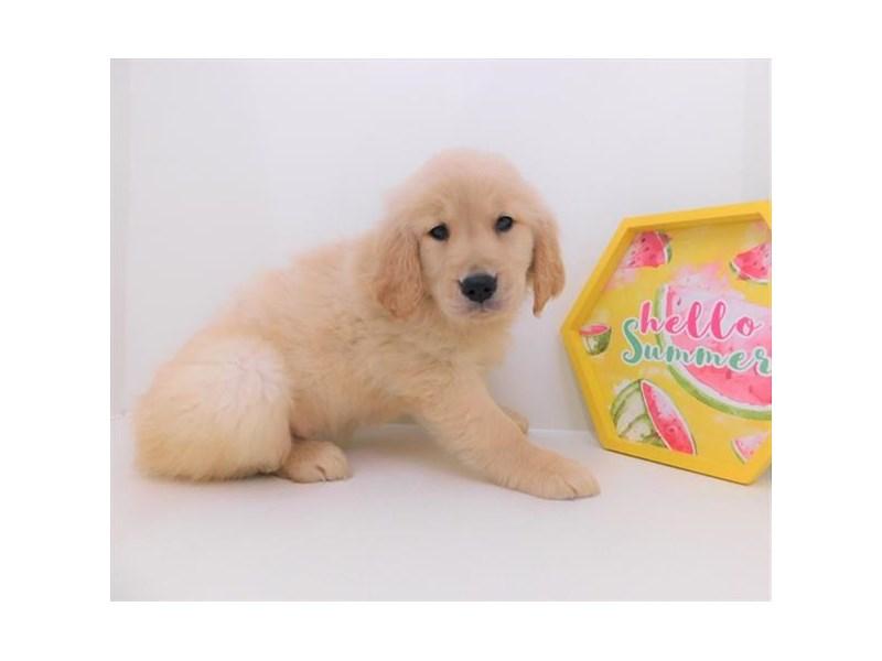 Golden Retriever-DOG-Female-Golden-2380619-Petland Naperville