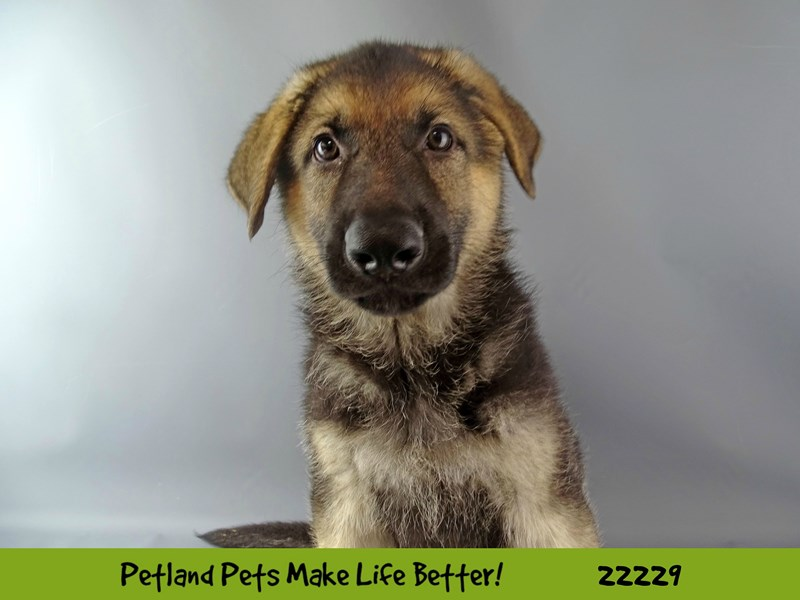 German Shepherd-Male-Blk/Tan-2380773-Petland Naperville