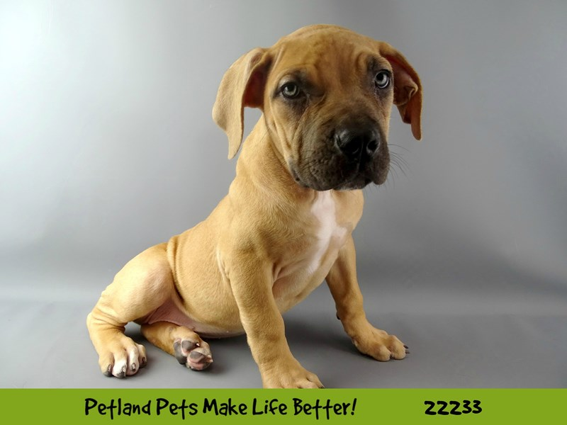 SOUTH AFRICAN BOARBOEL-DOG-Female-Tan-2381018-Petland Naperville