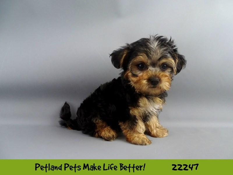 Yorkiepoo-DOG-Female-Blk/Tan-2386741-Petland Naperville