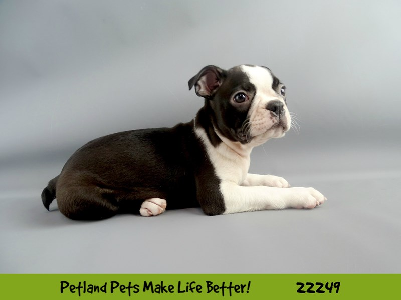 Boston Terrier-Male-Blk/Wht-2386807-Petland Naperville