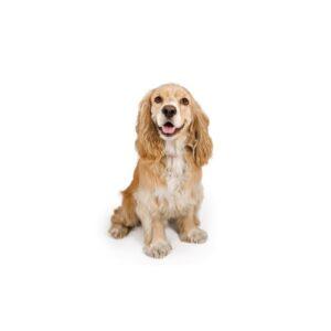 Cocker Spaniel Puppies - Petland Naperville
