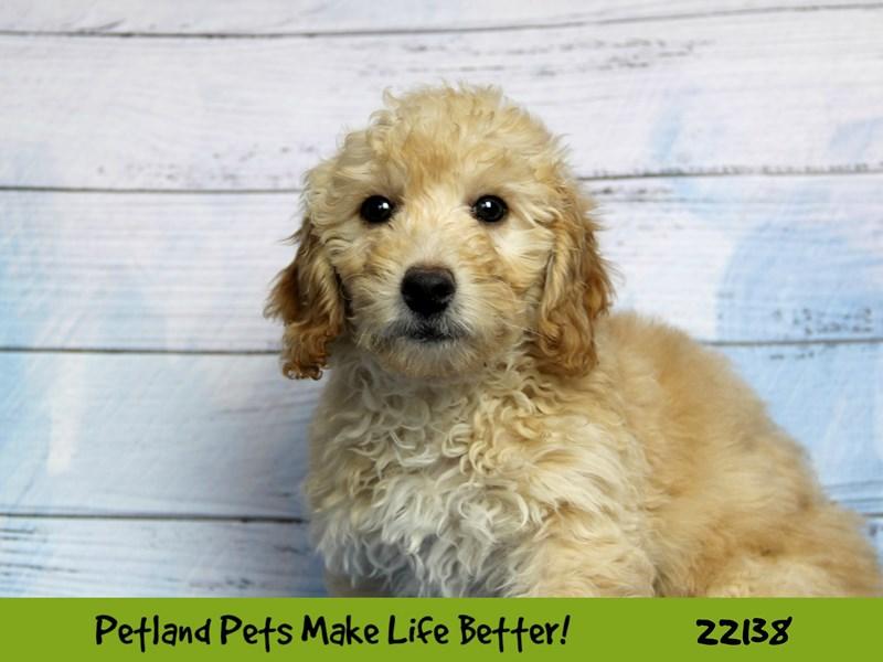 Miniature Goldendoodle-Female--2359489-Petland Naperville