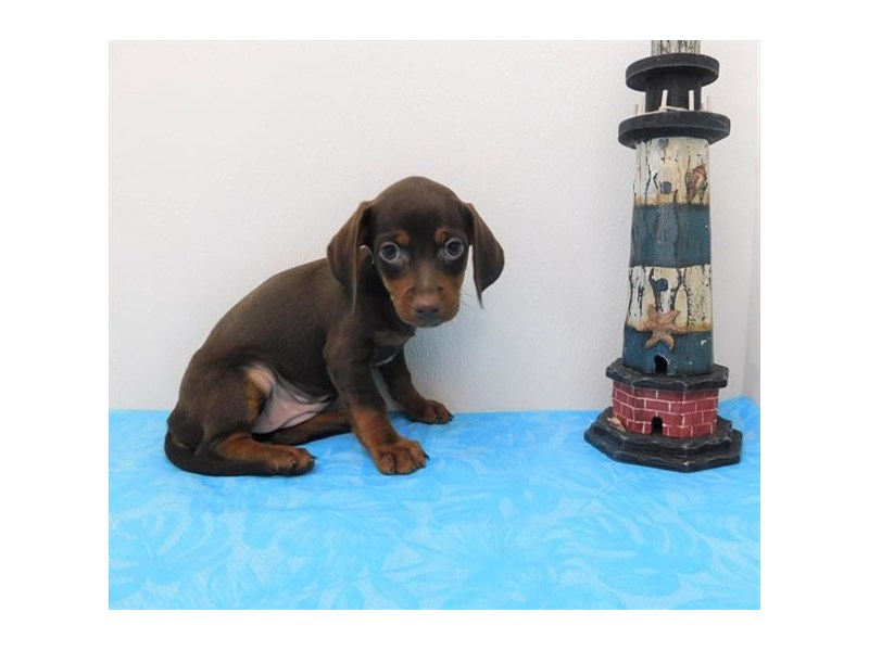 Chiweenie-Female-Chocolate / Tan-2363086-Petland Naperville