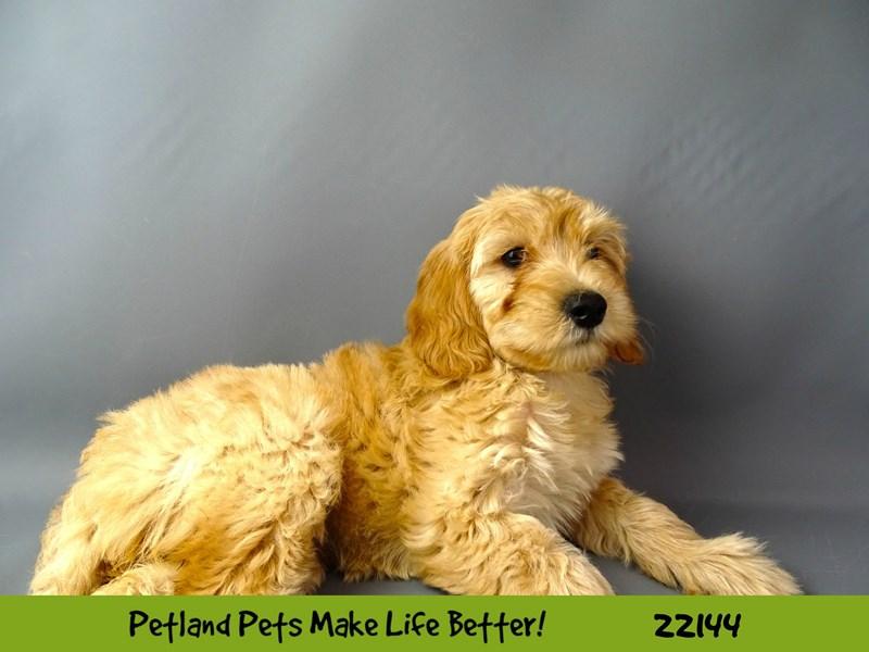 F1B Mini Goldendoodle-DOG-Female-Light Red-2363361-Petland Naperville