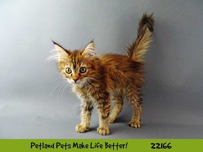 Maine Coon-Female-brwn/tabby/white-2364549-Petland Naperville