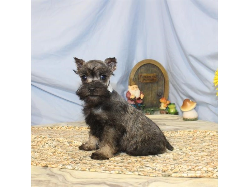 Miniature Schnauzer-Female-Salt / Pepper-2368477-Petland Naperville