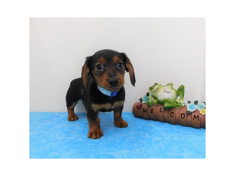 Dachshund-Female-Black / Tan-2368492-Petland Naperville