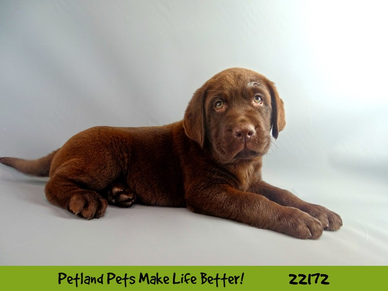 Labrador Retriever-Male-Chocolate-2368709-Petland Naperville