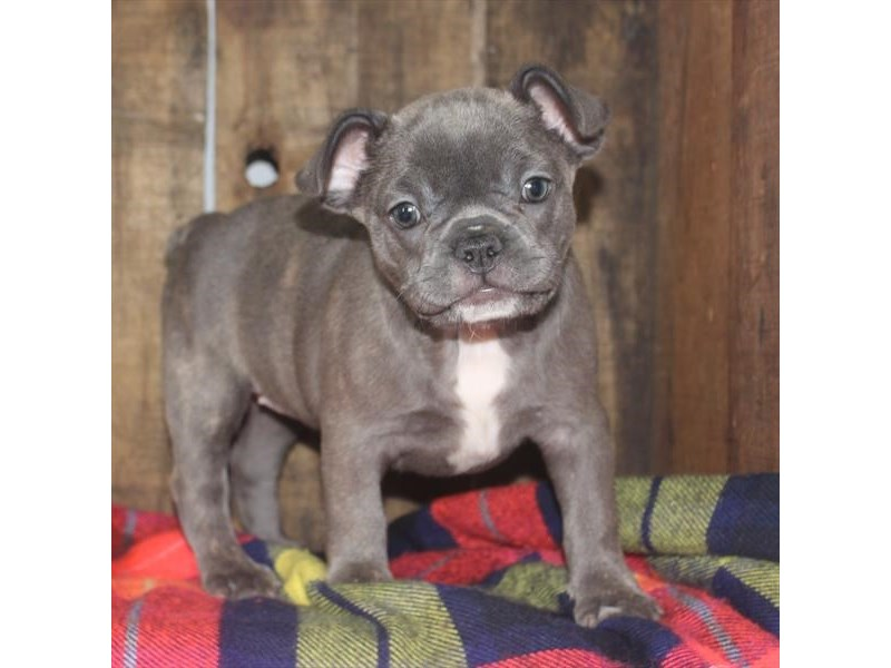 French Bulldog-Female-Blue Brindle-2373609-Petland Naperville