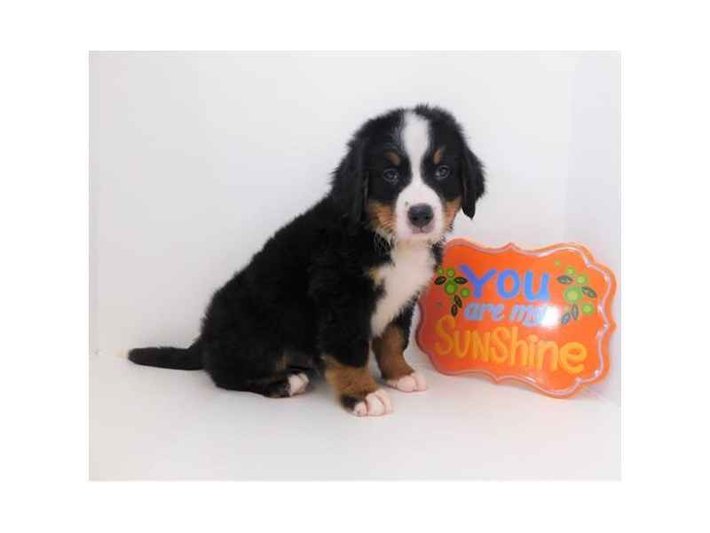 Bernese Mountain Dog-Male-Black White / Tan-2373721-Petland Naperville