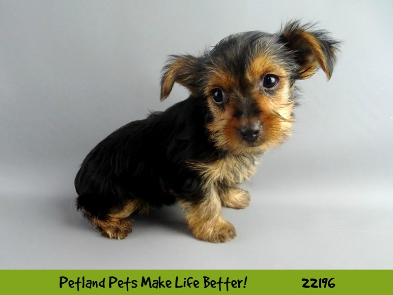 Yorkshire Terrier-Female-BLK/TAN-2374711-Petland Naperville