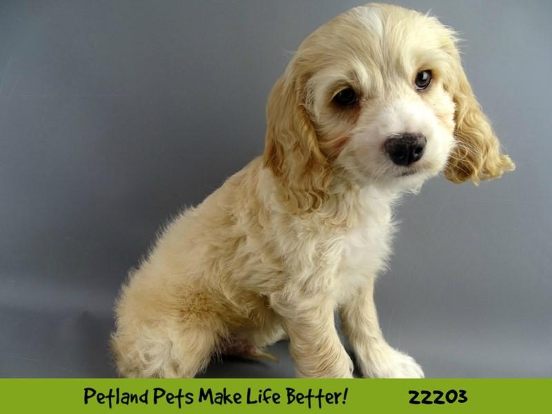 Cockapoo-DOG-Male-Apricot-2374949-Petland Naperville