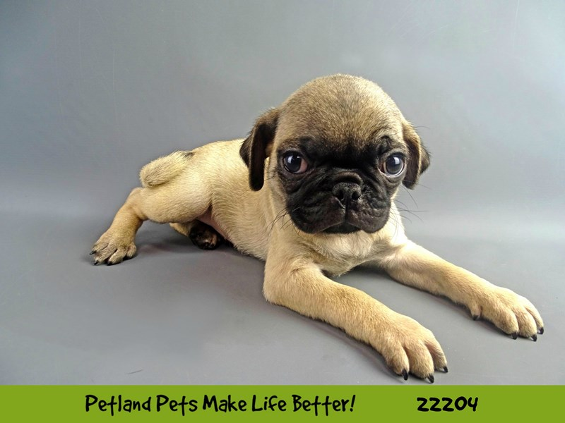 Pug-Male-Fawn-2375062-Petland Naperville