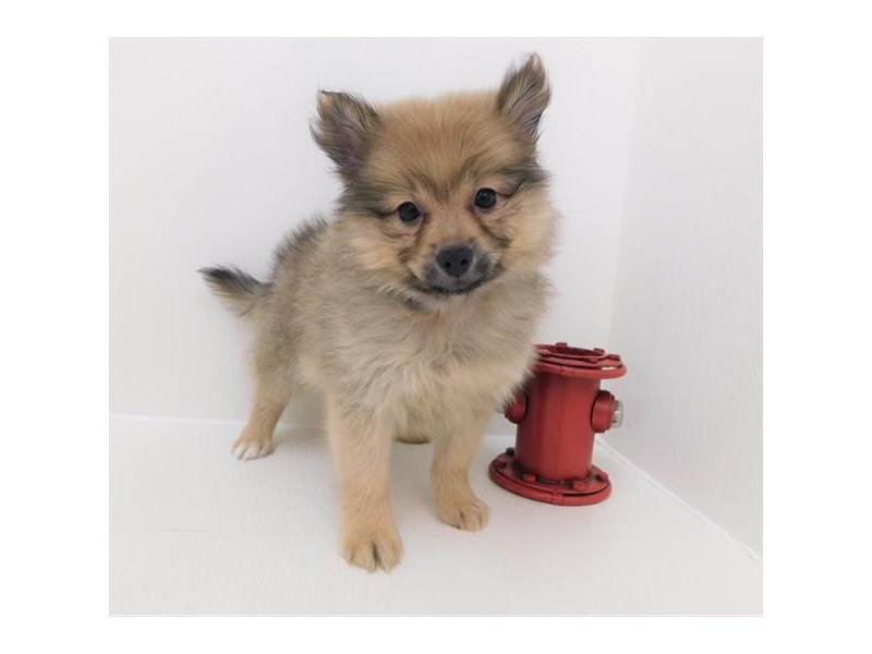 Pomeranian-Female-Orange Sable-2379318-Petland Naperville
