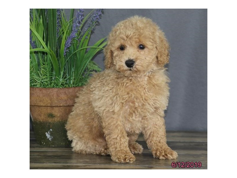 Poodle-DOG-Male-Cream-2379331-Petland Naperville
