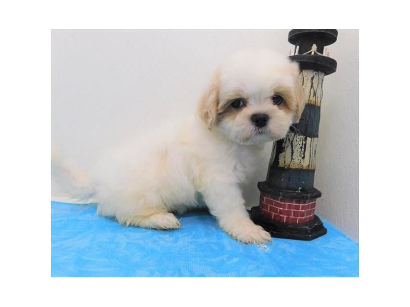 Teddy Bear-Male-White-2379341-Petland Naperville