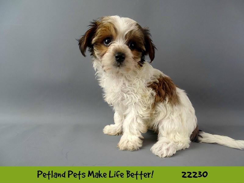 Yochon-DOG-Female-Tan/Wht-2380802-Petland Naperville