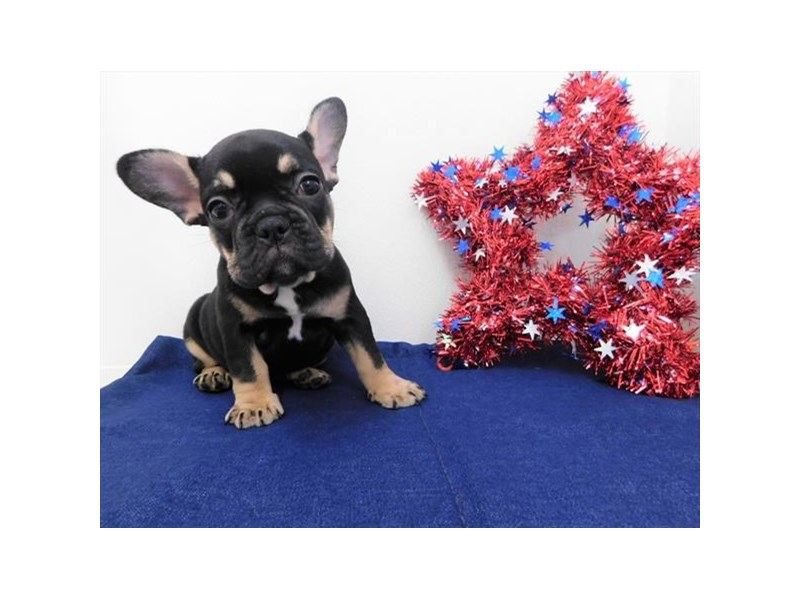 French Bulldog-Female-Black / Tan-2386594-Petland Naperville