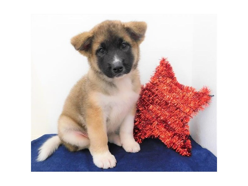Akita-DOG-Female-Brown / White-2386600-Petland Naperville