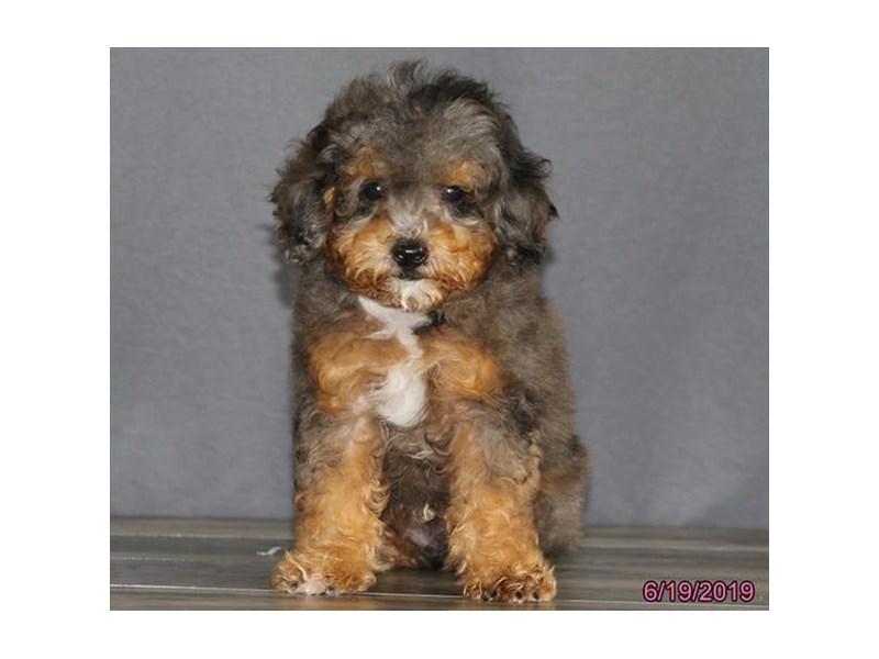 Miniature Australian Shepherd/Poodle-DOG-Male-Merle-2386634-Petland Naperville