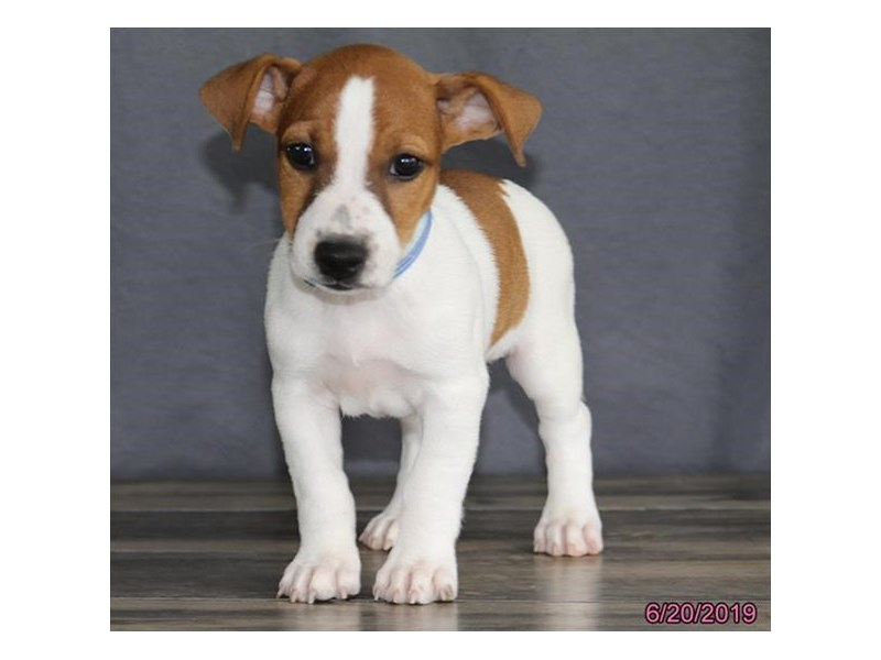 Jack Russell Terrier-DOG-Male-Brown / White-2386635-Petland Naperville