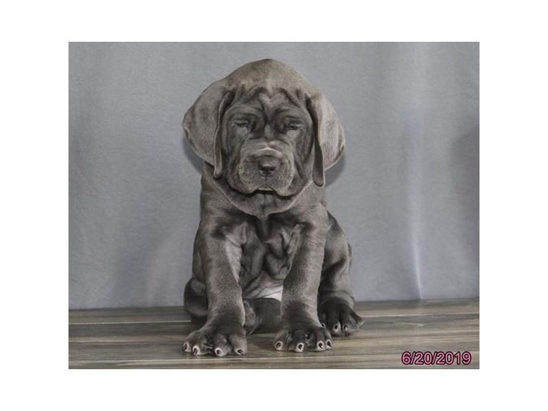 Neapolitan Mastiff-Female-Blue-2386638-Petland Naperville
