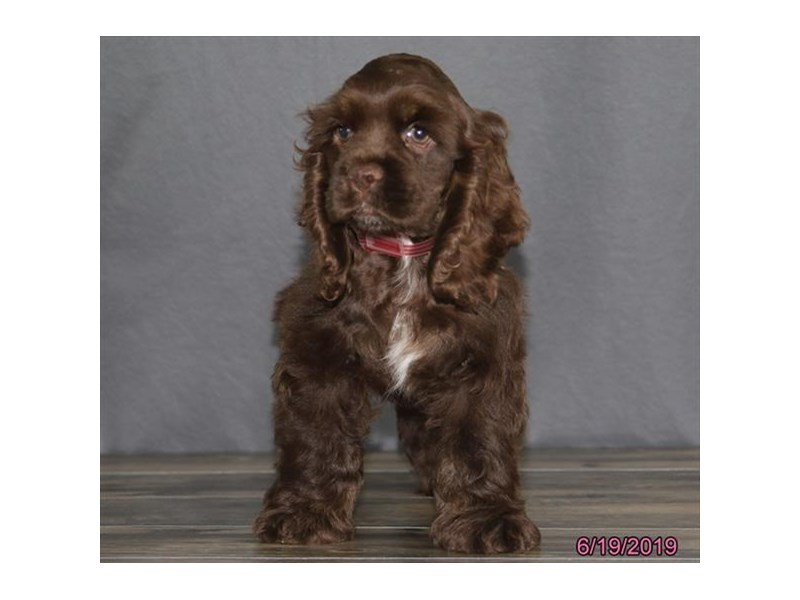 Cocker Spaniel-Female-Chocolate-2386639-Petland Naperville