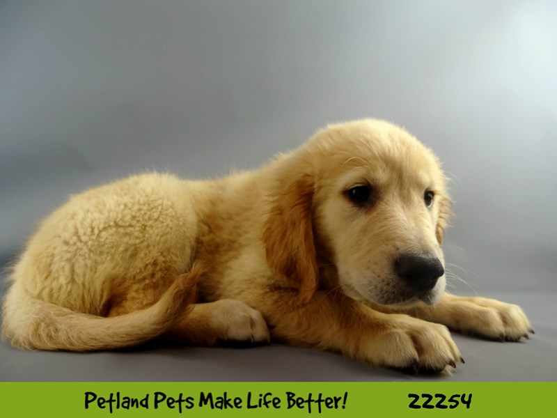 Golden Retriever-DOG-Male-Golden-2387228-Petland Naperville
