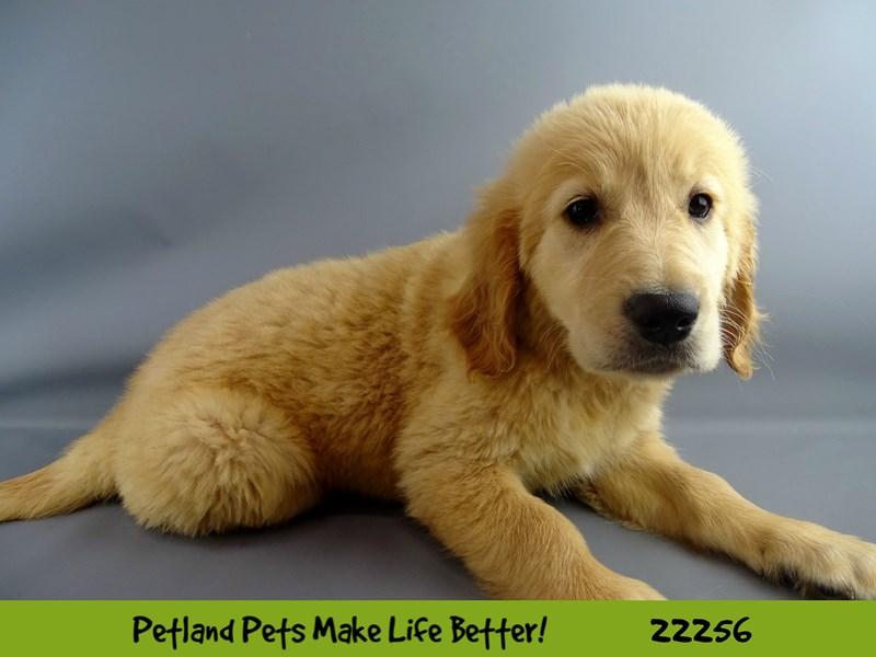 Golden Retriever-Female-Golden-2387390-Petland Naperville